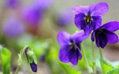 Tutto sulla viola mammola: un bellissimo fiore blu amico della salute