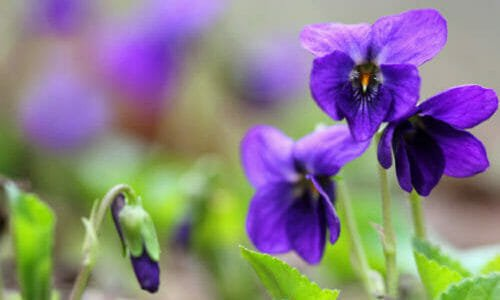 Photo of Tutto sulla viola mammola: un bellissimo fiore blu amico della salute