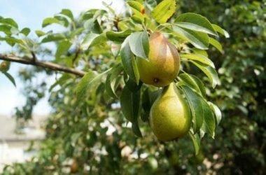 La guida per coltivare un albero di pero, in vaso e in giardino