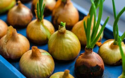 5 modi per coltivare le cipolle in vaso e in orto