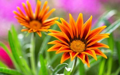 Gazania, come si cura questa pianta dai fiori simili alle margherite