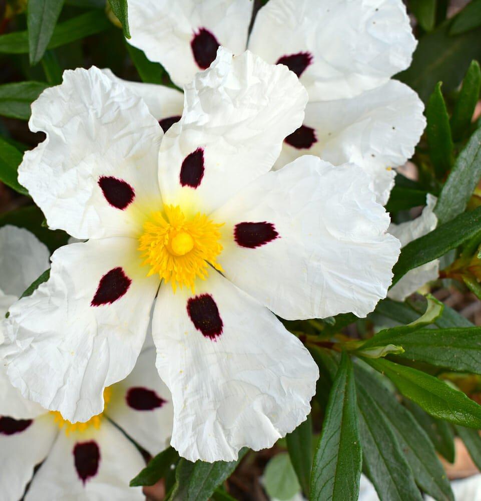 Fiori Selvatici Foto E Nomi cisto, descrizione e caratteristiche di questa pianta