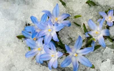 Quello che c'è da sapere sulla chionodoxa, una pianta invernale con bellissimi fiorellini