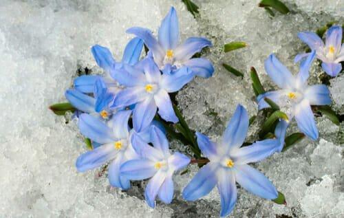 Photo of Quello che c'è da sapere sulla chionodoxa, una pianta invernale con bellissimi fiorellini