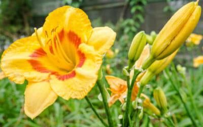 Hemerocallis o Emerocallide, una bulbosa facile da curare che colora il giardino grazie ai fiori rosso-arancio