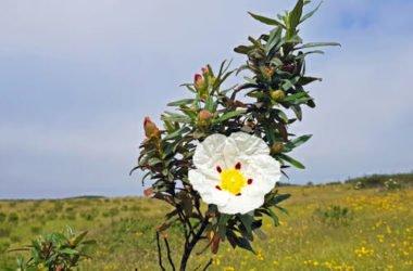 Tutto sul cisto, una pianta mediterranea che ricorda la rosa selvatica