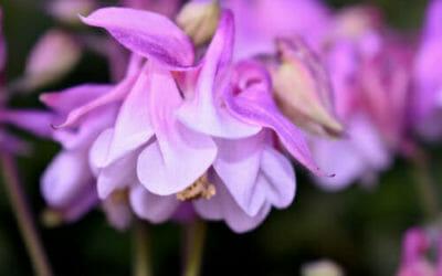 Scopriamo l'aquilegia, una pianta facile da coltivare e che regala fioriture notevoli