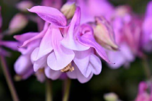Photo of Scopriamo l'aquilegia, una pianta facile da coltivare e che regala fioriture notevoli