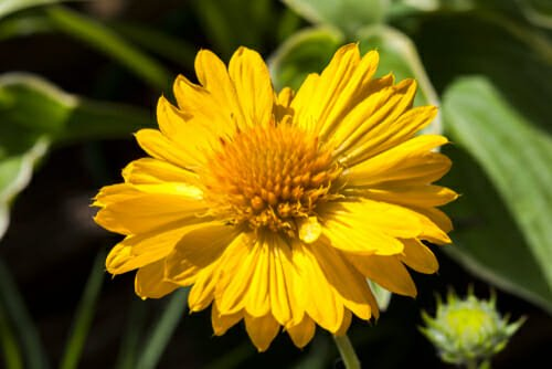 gaillardia fiore