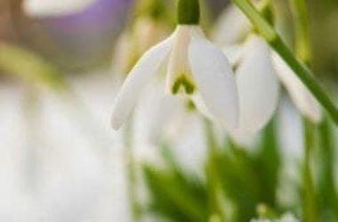 Bucaneve: significato nel linguaggio dei fiori, proprietà e coltivazione