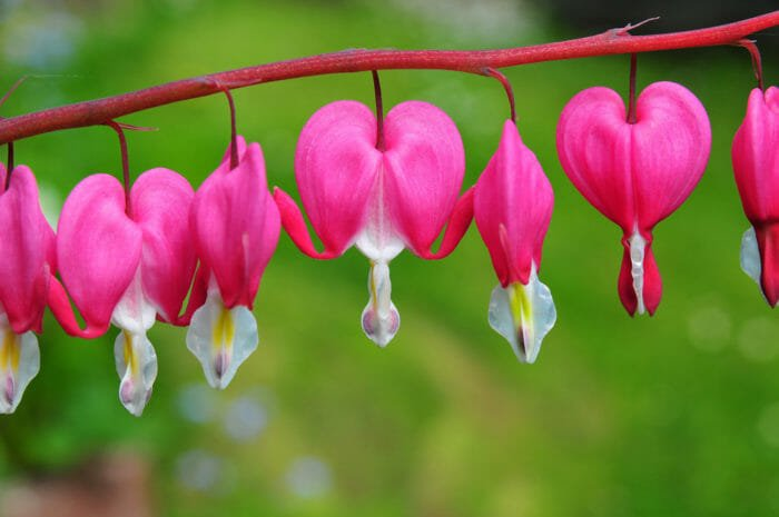 fiori dicentra cuore