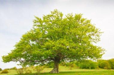 Faggio: caratteristiche, coltivazione e diffusione di questo albero europeo