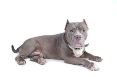 Il Bull Terrier, ecco la guida completa