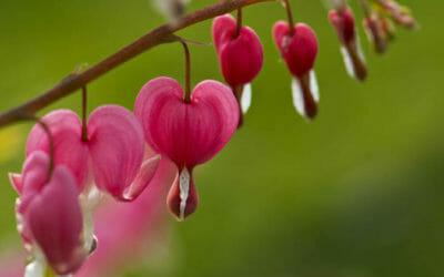 Dicentra: la perfezione della natura produce fiori a forma di cuore