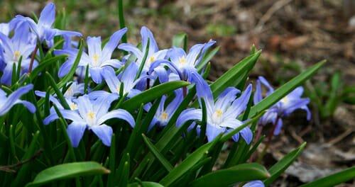 Chionodoxa fiore