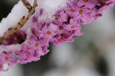 Dafne: tutto su questa pianta dai fiori bellissimi, ma velenosa