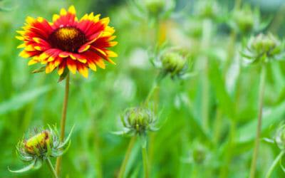 Gaillardia, tutto un fiore rosso-giallo simile alla margherita