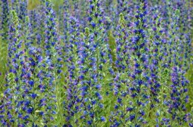 Quello che c'è da sapere sull'erba viperina o viperina azzurra, un'erba selvatica nota per le proprietà medicinali