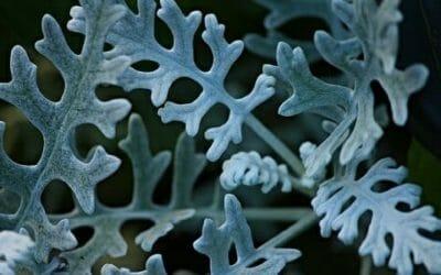 I segreti della cineraria: ecco la guida alla coltivazione di questa pianta ornamentale