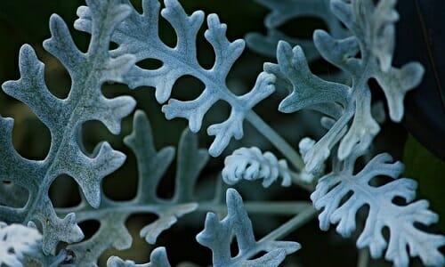 Photo of I segreti della cineraria: ecco la guida alla coltivazione di questa pianta ornamentale