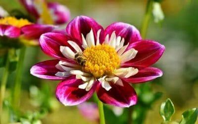 Zinnia: tutto su questo splendido fiore che piace alle farfalle