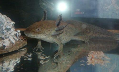 Photo of Tutti pazzi per l'axolotl o assolotto, la salamandra messicana che sembra uscita da un cartone animato