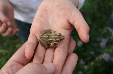Rana: caratteristiche, cure e cose da sapere per allevare una rana domestica