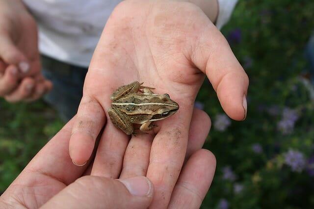 Photo of Rana: caratteristiche, cure e cose da sapere per allevare una rana domestica