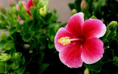 Ibisco: pianta, coltivazione e proprietà benefiche