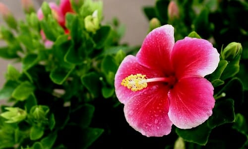 Photo of Ibisco: pianta, coltivazione e proprietà benefiche
