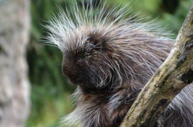 Tutto sull'istrice, un roditore dall'aspetto curioso, temuto per i suoi lunghi aculei