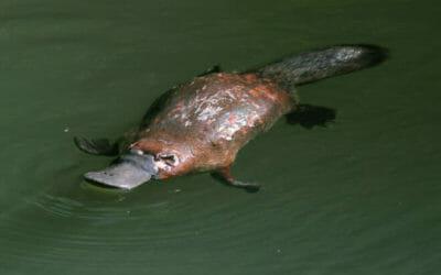 I segreti dell'ornitorinco, uno degli animali dall'aspetto più insolito