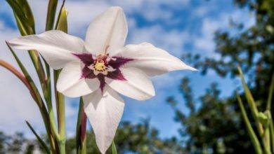 Photo of Acidanthera: tutto su questa bulbosa dagli eleganti fiori bianchi