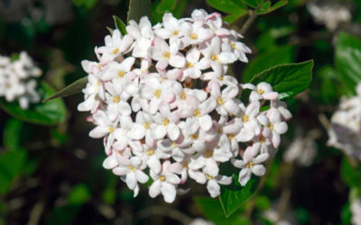Scopriamo il viburno, arbusto ideale per una siepe e che non richiede tante cure: la guida pratica