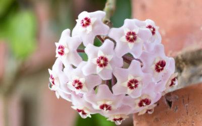 Hoya, detta anche fiore di cera: scopriamo tutto su questi fiori ad ombrello dall'odore dolciastro