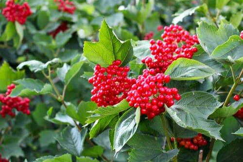 viburno rosso viburnum dilatatum
