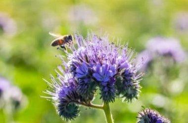 Conoscere e coltivare la facelia, la pianta che salva le api