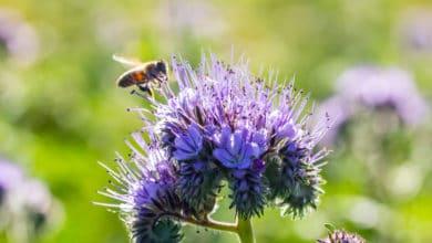 Photo of Conoscere e coltivare la facelia, la pianta che salva le api