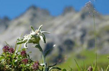 Stella alpina: scopriamo la sua leggenda e di quali cure ha bisogno