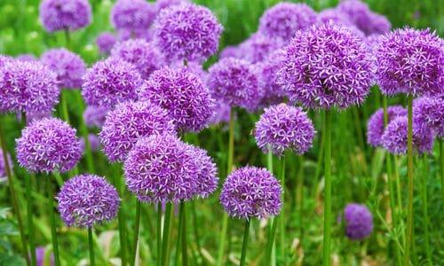 Allium: un bulbo che produce dei magnifici fiori dal forte odore di aglio