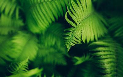 Felci: eleganti piante ornamentali che necessitano di umidità