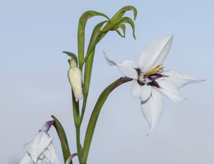 Acidanthera: caratteristiche e cura della pianta bulbosa dai fiori bianchi