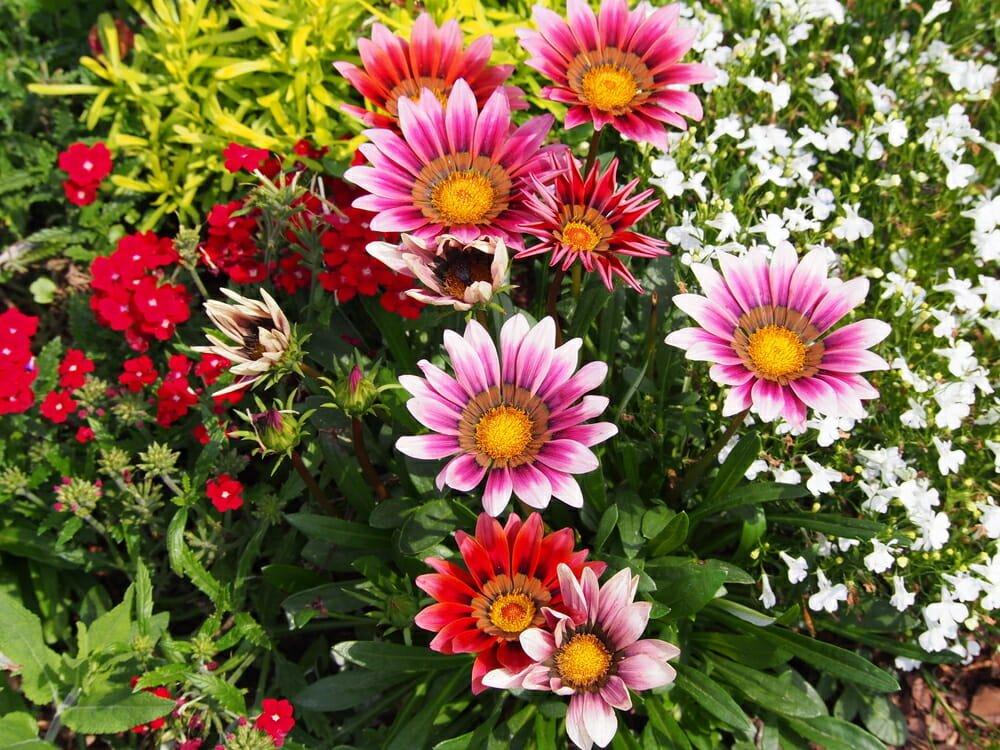 Pianta Dai Fiori Gialli.Gazania Come Coltivare Questo Fiore Colorato Simile Alla Margherita