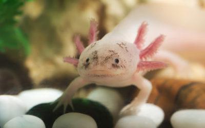 Tutti pazzi per l'axolotl o assolotto, la salamandra messicana che sembra uscita da un cartone animato