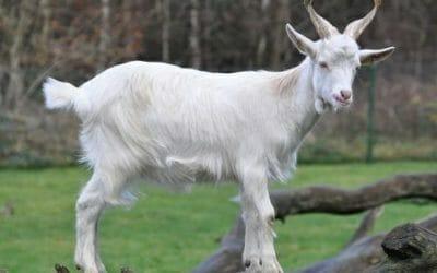 Allevare una capra domestica: un animale da compagnia che qualcuno definisce il nuovo miglior amico dell'uomo