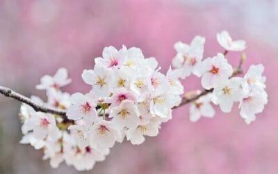 Dove e quando vedere i fiori di ciliegio, uno spettacolo naturale che non lascia indifferenti