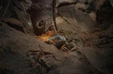 Iguana: sempre più popolare come animale domestico, ma lo conosciamo davvero?
