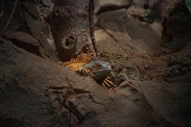 Photo of Iguana: sempre più popolare come animale domestico, ma lo conosciamo davvero?
