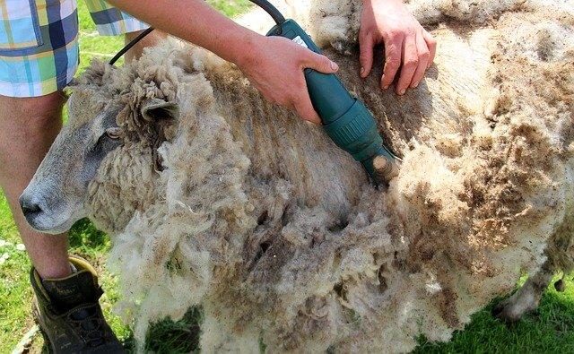 Photo of Una pecora come animale da compagnia? Vediamo prima quali sono le sue esigenze…