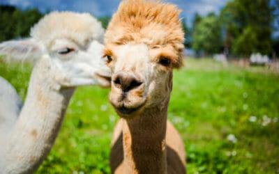 Alla scoperta dell'alpaca, diverso dal lama e noto per la sua lana pregiata